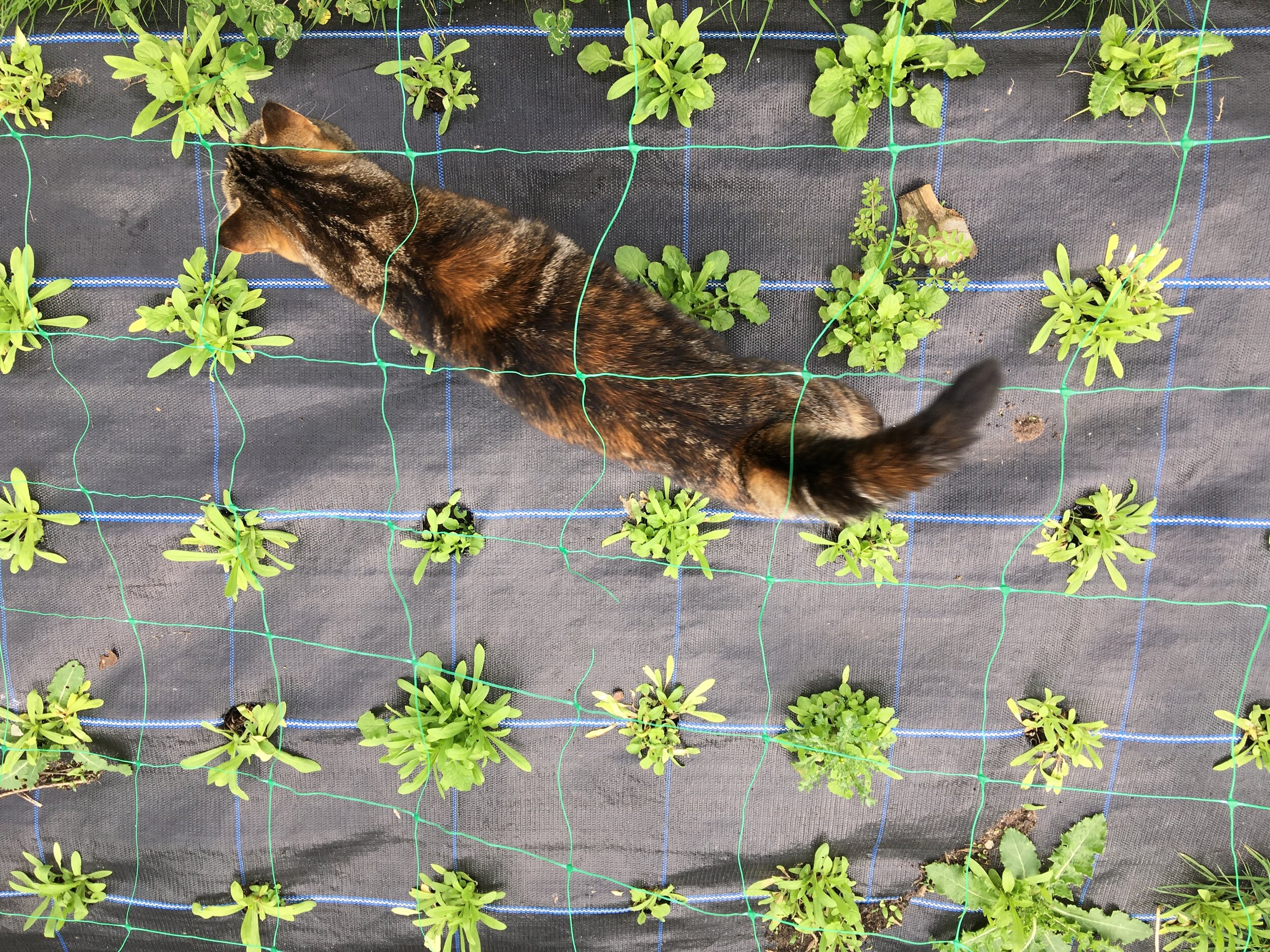 """9"""" (21cm) spacing in a linear pattern, with self sown Agrostemma and a few weeds. Cat for scale!"""
