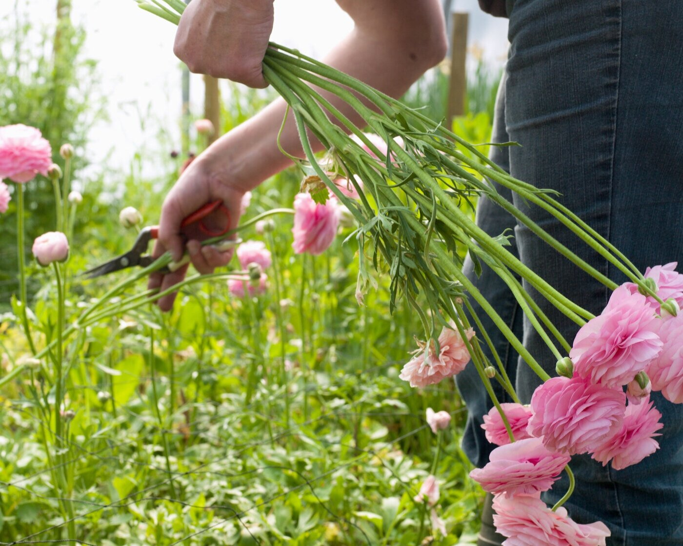 How many Ranunculus stems per plant? I've seen estimates from 3 to 20.