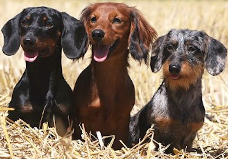 Smooth, Longhair, and Wirehaired Dachshunds