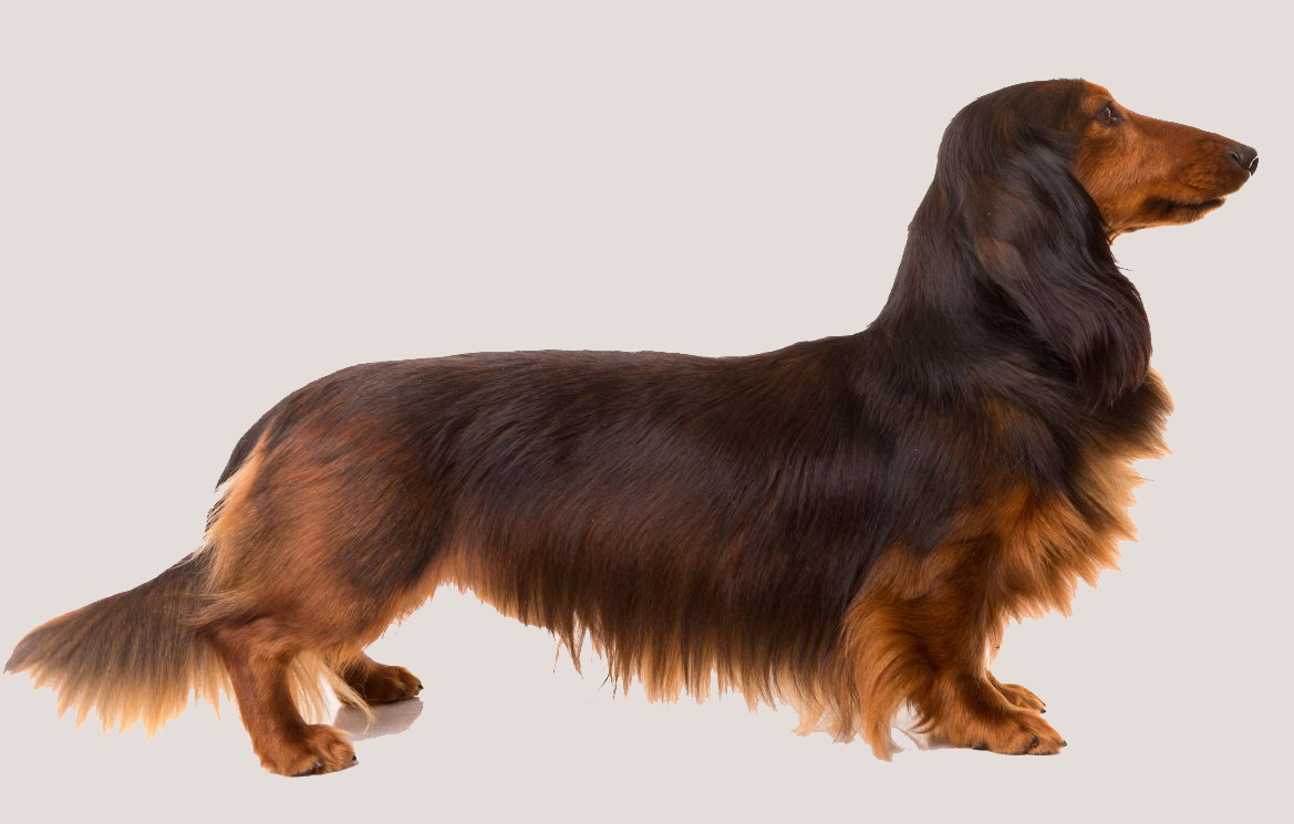 Dachshund with Sable Markings.png