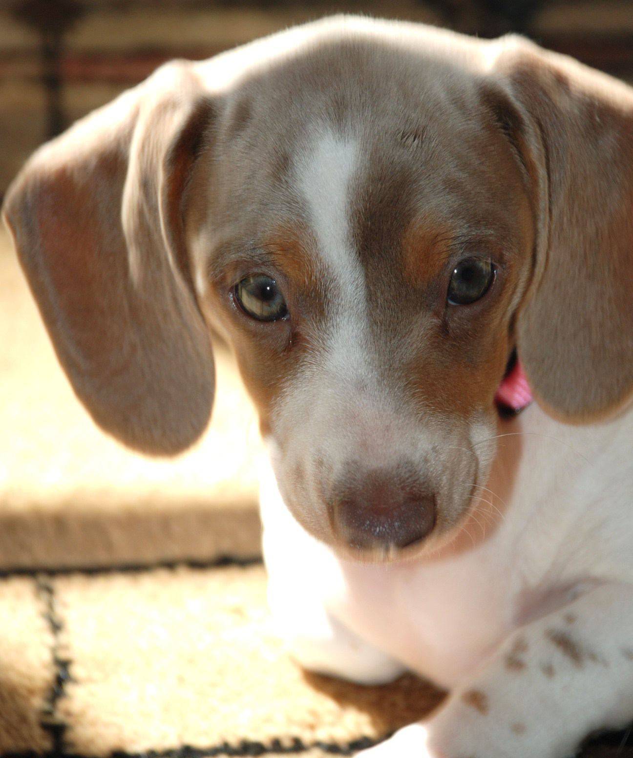 Dachshunds Unlimited Piebald Pup-4.png