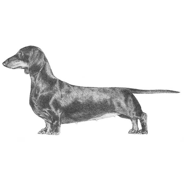 AKC Official Dachshund Standard