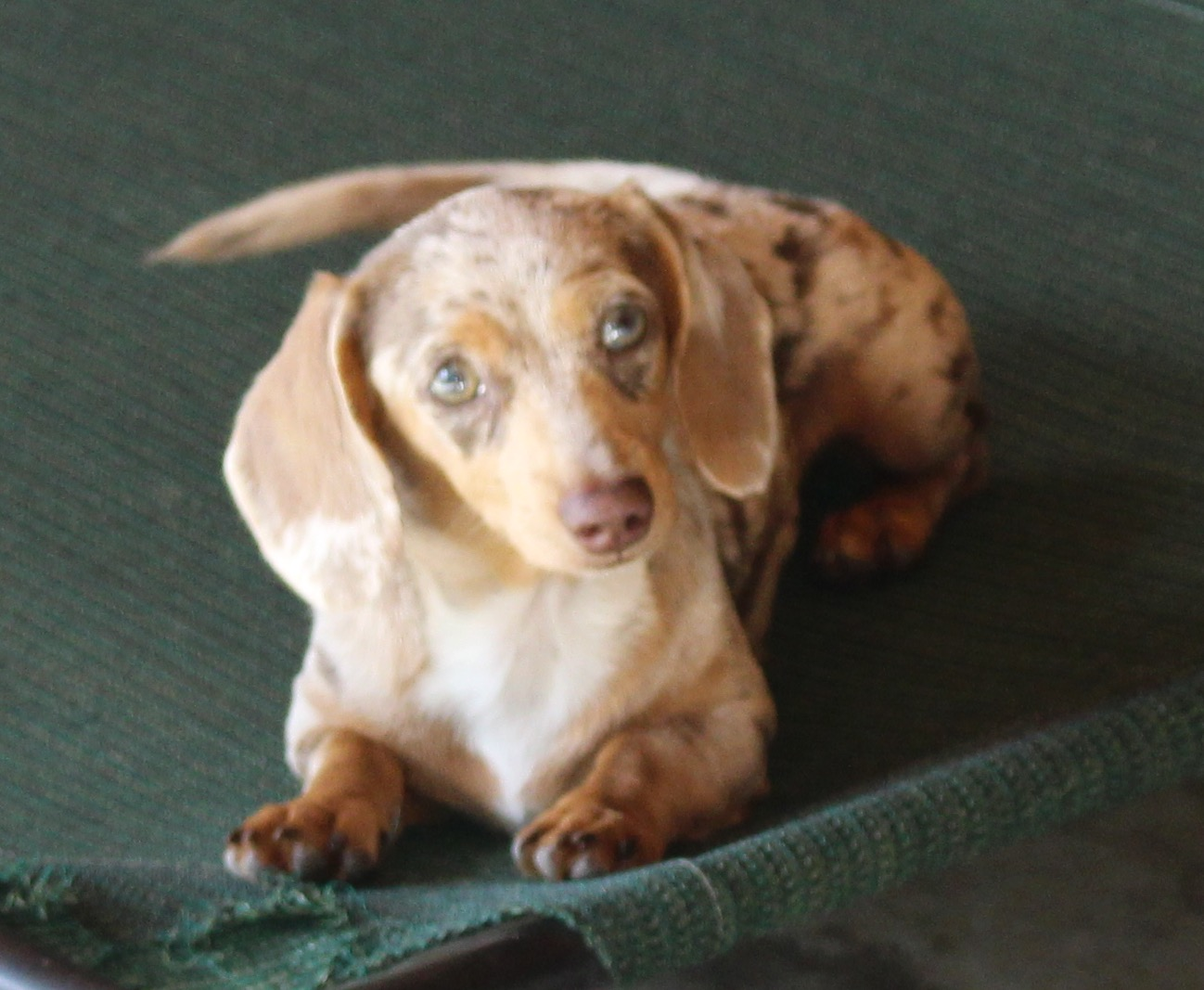 No Pups For Christmas Announcement Dachshunds Unlimited