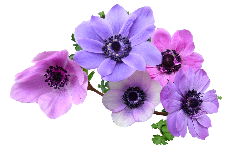 anemone-2421606_960_720.png