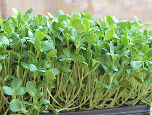 sunflower-sprouts-greens.jpg