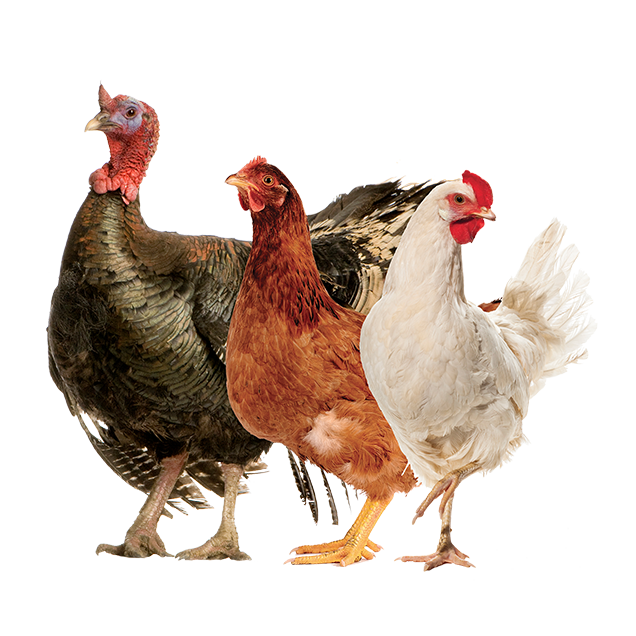 ProductAnimals-Layout-Poultry01.png