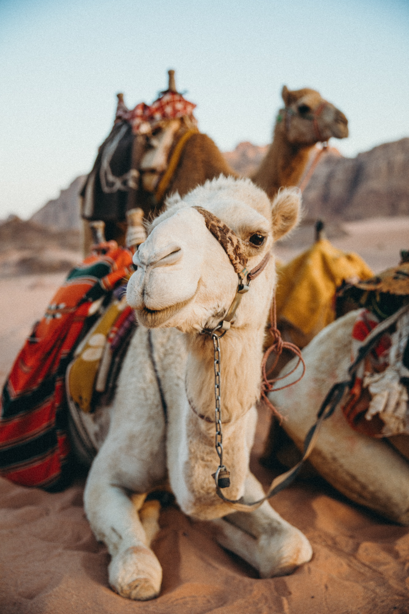 I love camels so much, so dopey and cute.