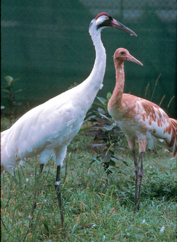 ADULT AND JUVENILE WHOOPING CRANE