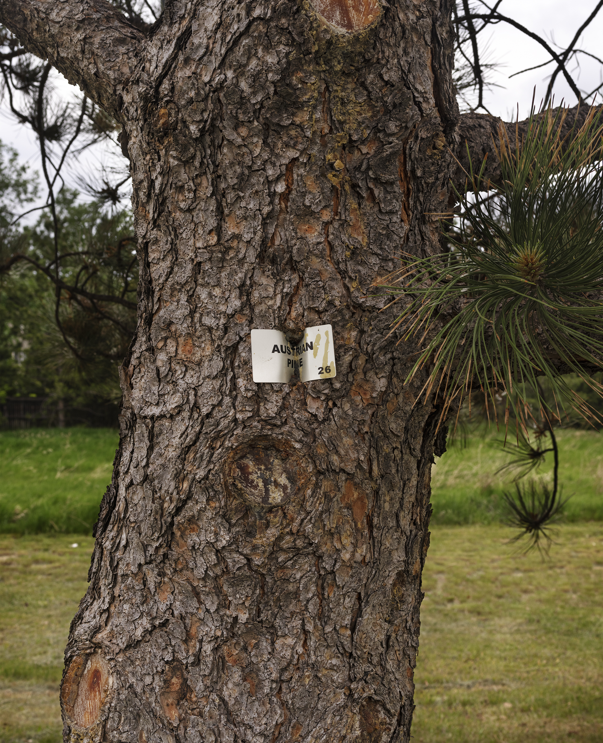 Austrian Pine #26