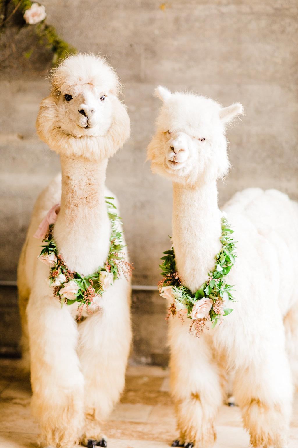 alpaca9.jpg