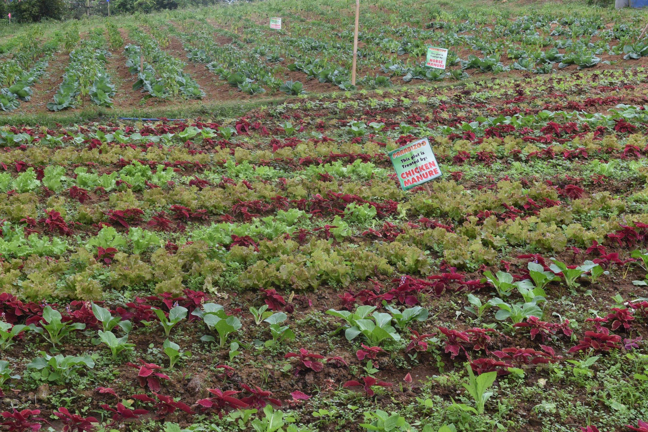 Vegetable garden fertilized by animal manure.