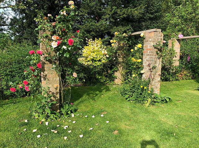 Everything is coming up roses.  #lovelygarden #roses #moresunnydays