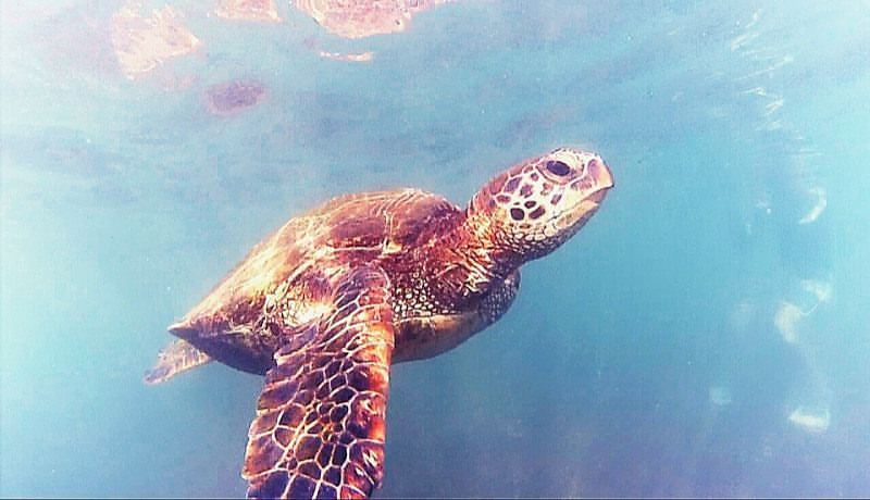 Curious turtle on the North Shore