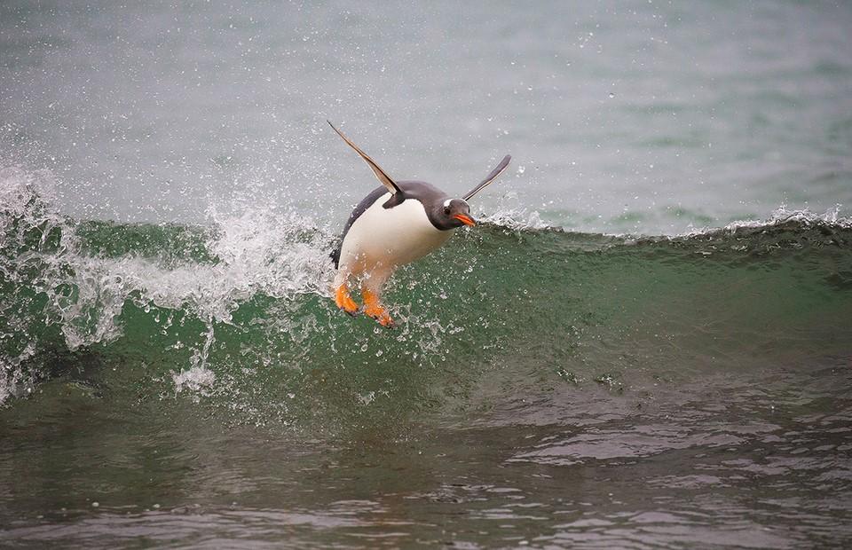 Gentoo penguin surfing