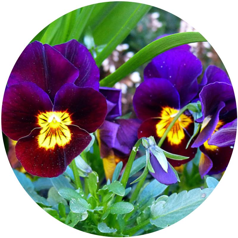 pansies_circle.png