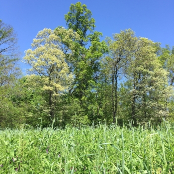Tall trees and thick cover crop