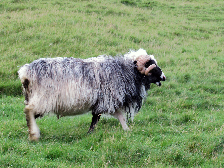 denmark-faroe-islands-kalsoy-sheep-ram-curly-horns-gray-wool.jpg