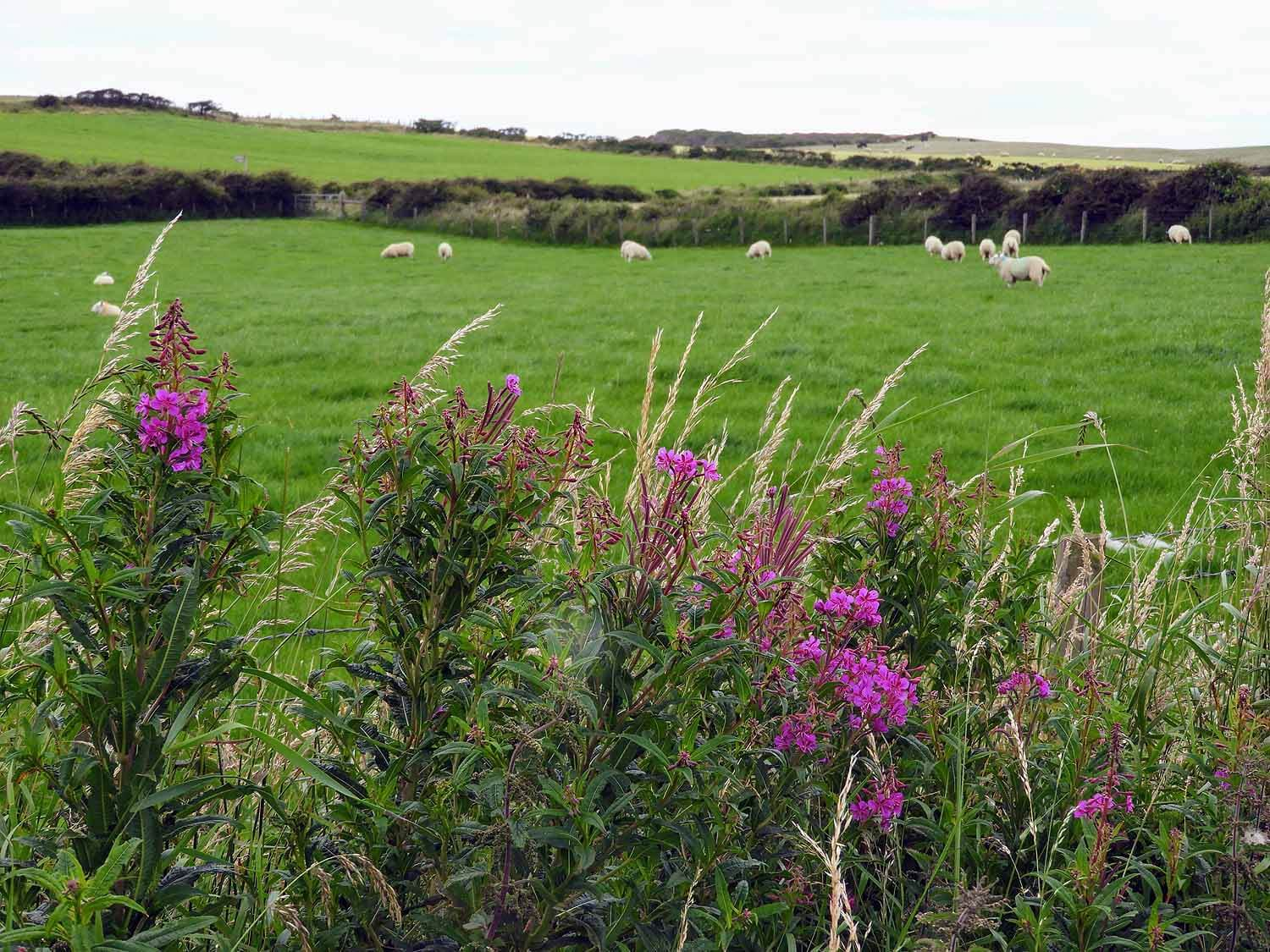northern-ireland-coast-sheep-flowers.jpg