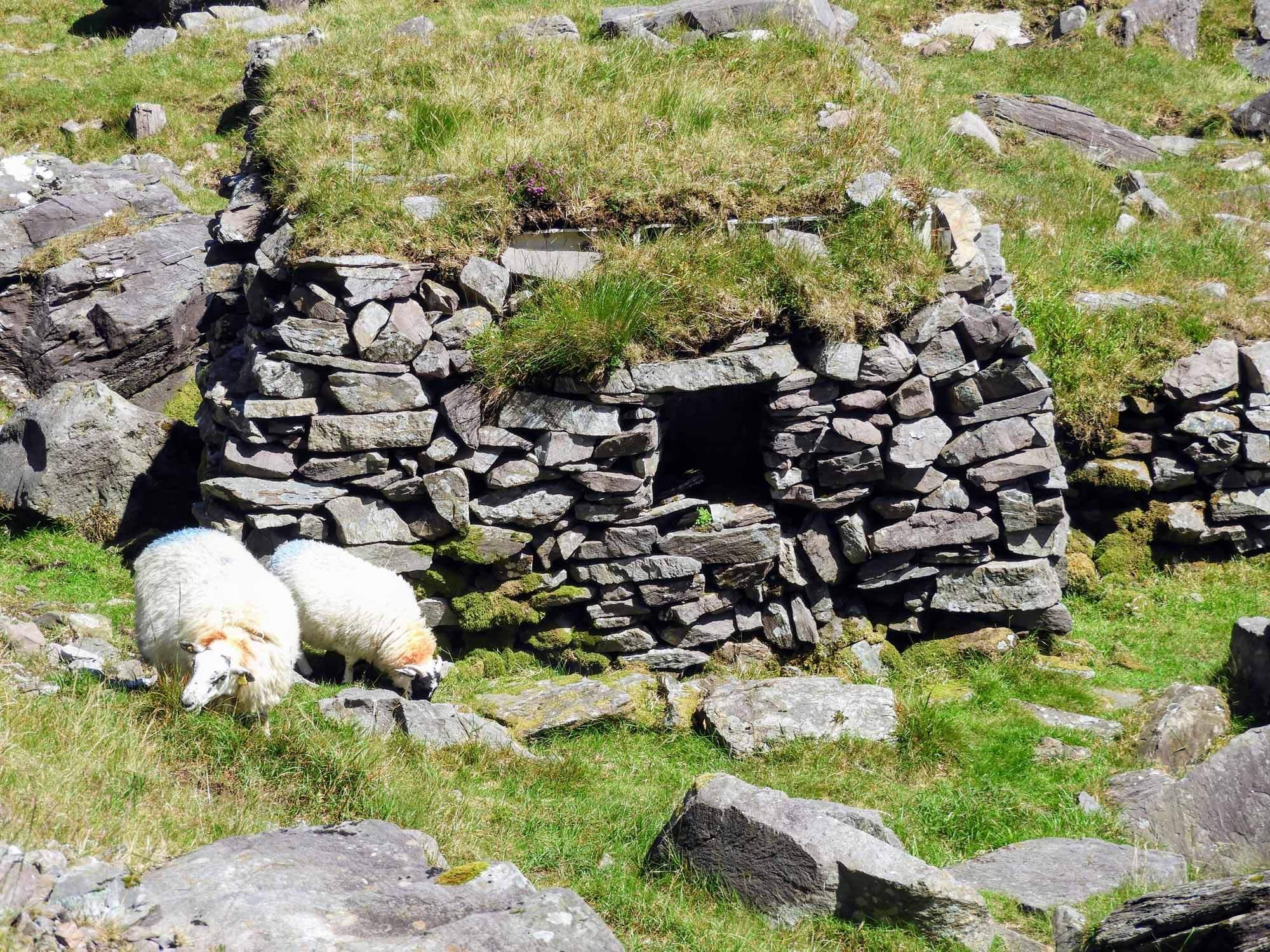 ireland-carrauntoohil-highest-mountain-peak-sheep-stone-ruins.jpg