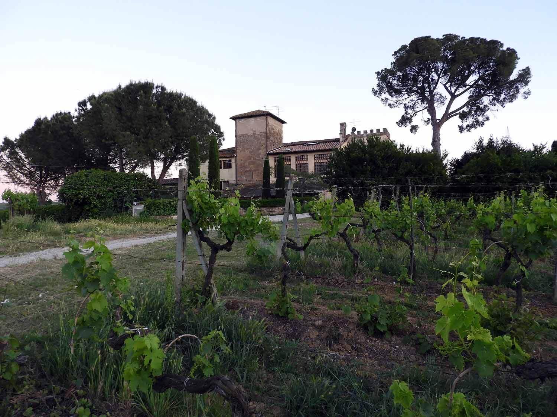 italy-italia-certaldo-old-tuscany-italian-stone-pine.JPG