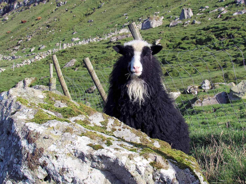 denmark-faroe-islands-sheep-black-white.JPG