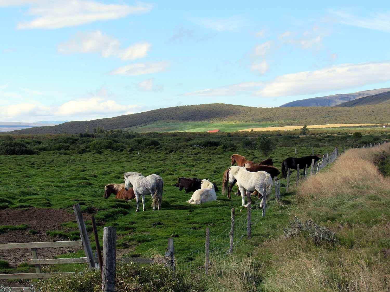 iceland-bruarfoss-icelandic-ponies-pasture.JPG
