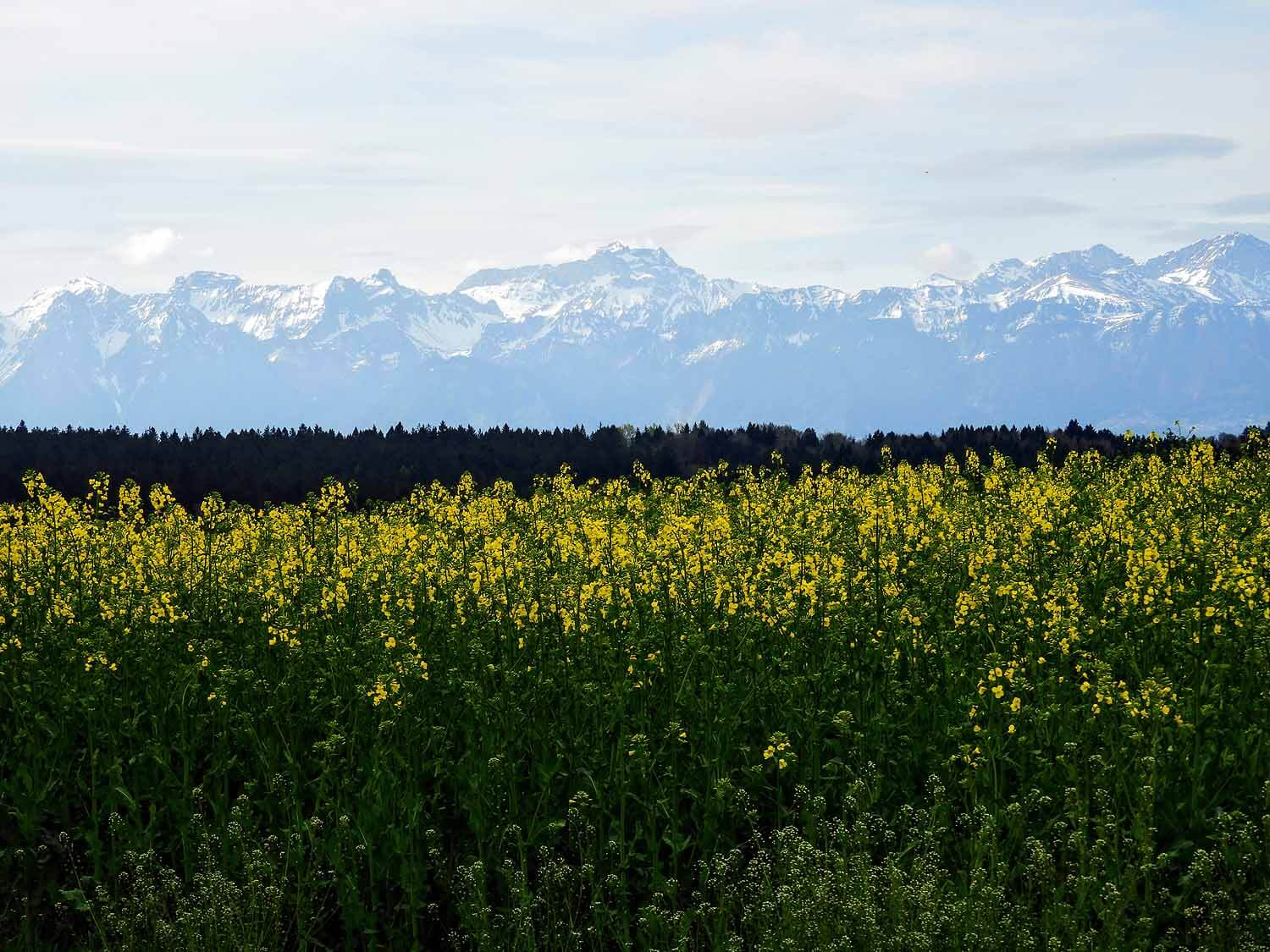 switzerland-montruex-rapseed-flowers-field.jpg