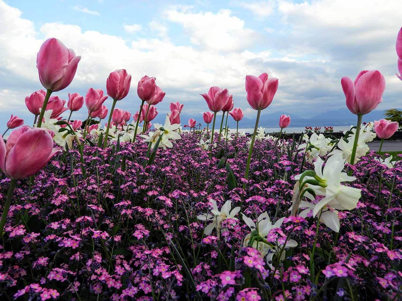 switzerland-luassane-tulip-pink-white.jpg