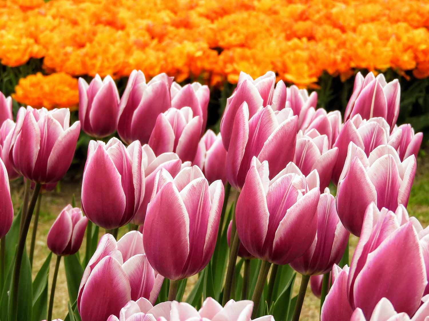 switzerland-luassane-tulip-festival-purple-orange.jpg