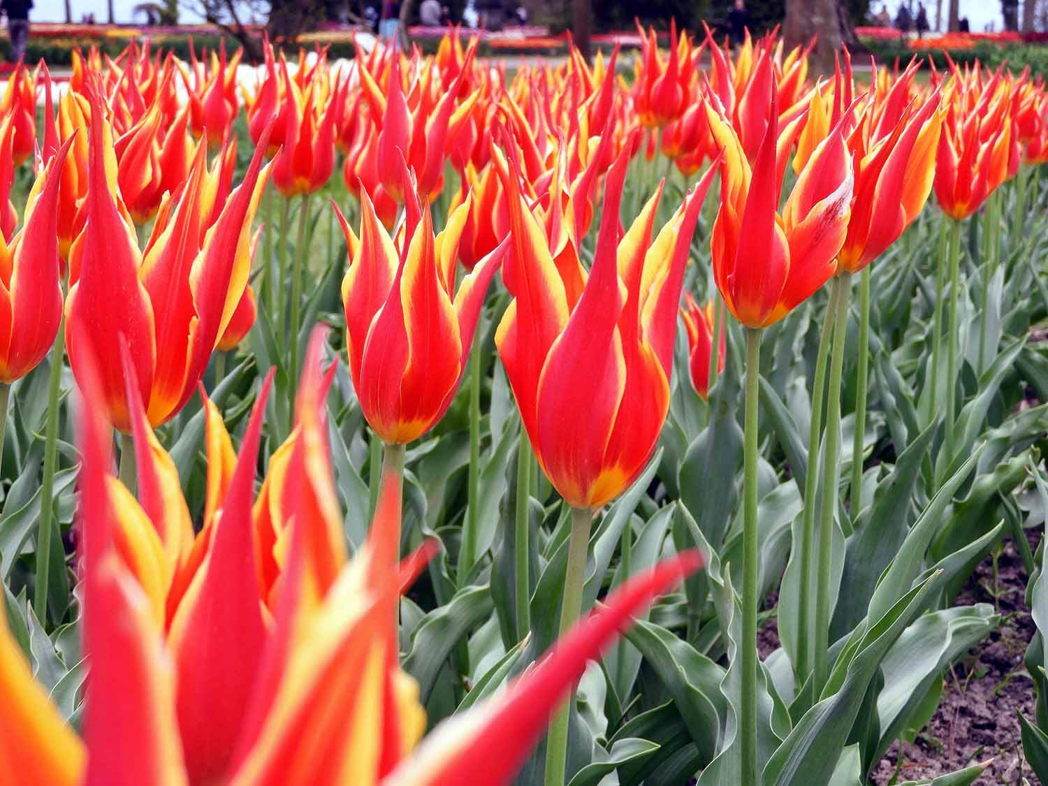 switzerland-luassane-morges-tulip-festival-red-yellow.jpg