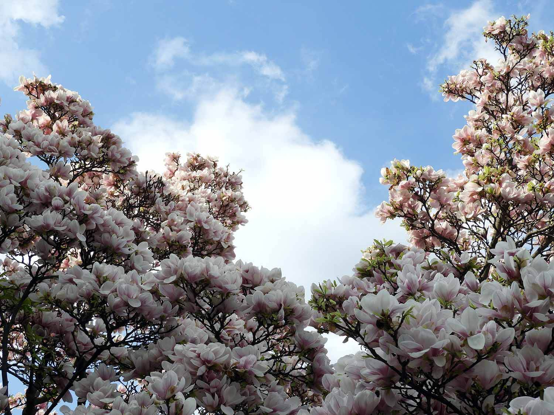 germany-mannheim-schloss-spring-magnolia-blossoms.JPG