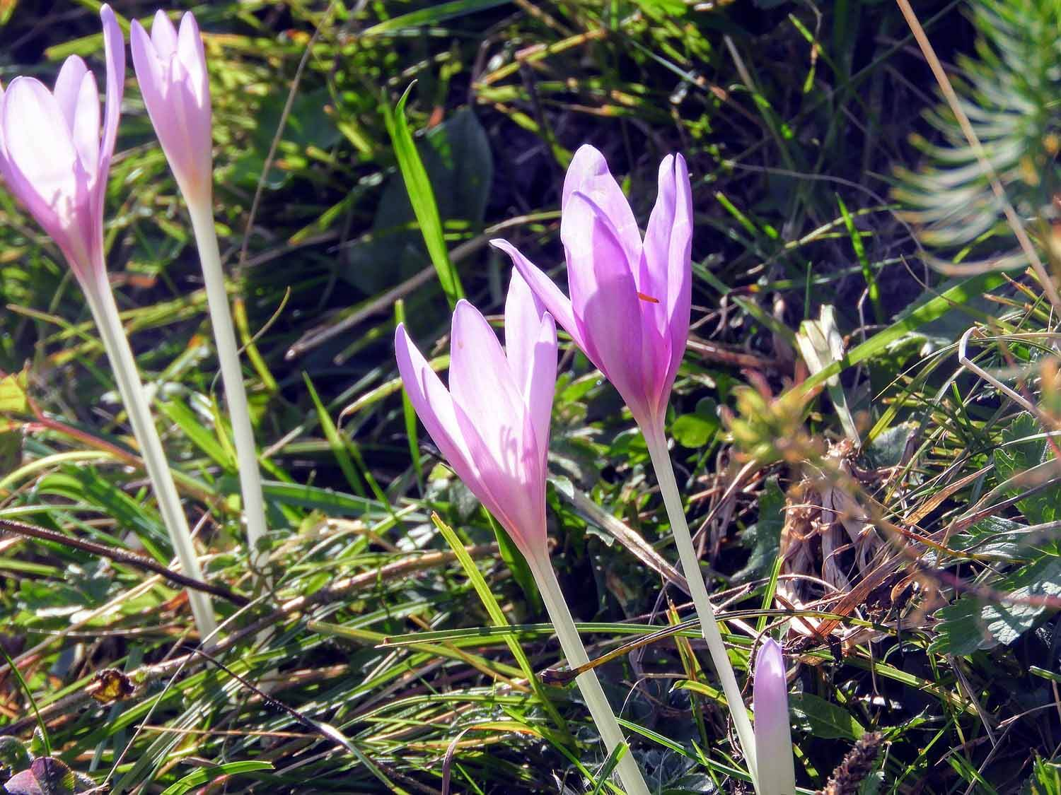 switzerland-oeschinensee-crocus.jpg