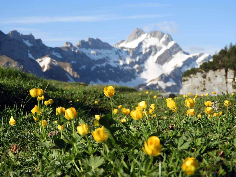 switzerland-ebenalp-seealpsee-morning-sunrise-flowers-snowy-peaks.JPG
