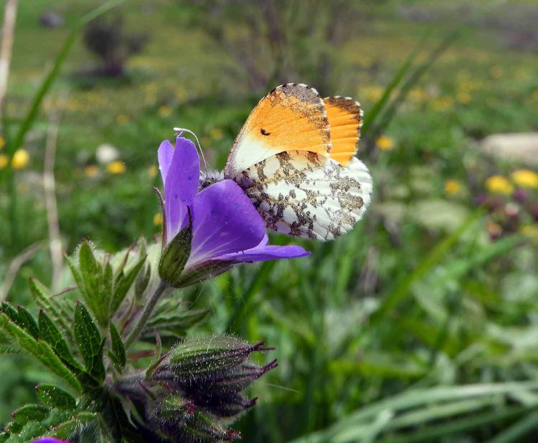 switzerland-ebenalp-seealpsee-spring-flower-butterfly.JPG