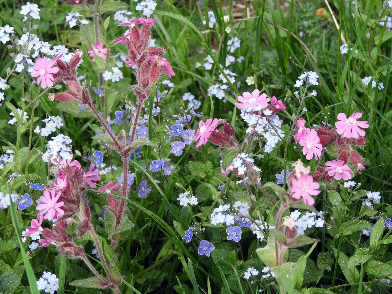 switzerland-ebenalp-seealpsee-spring-wildflowers-pink-purple.JPG