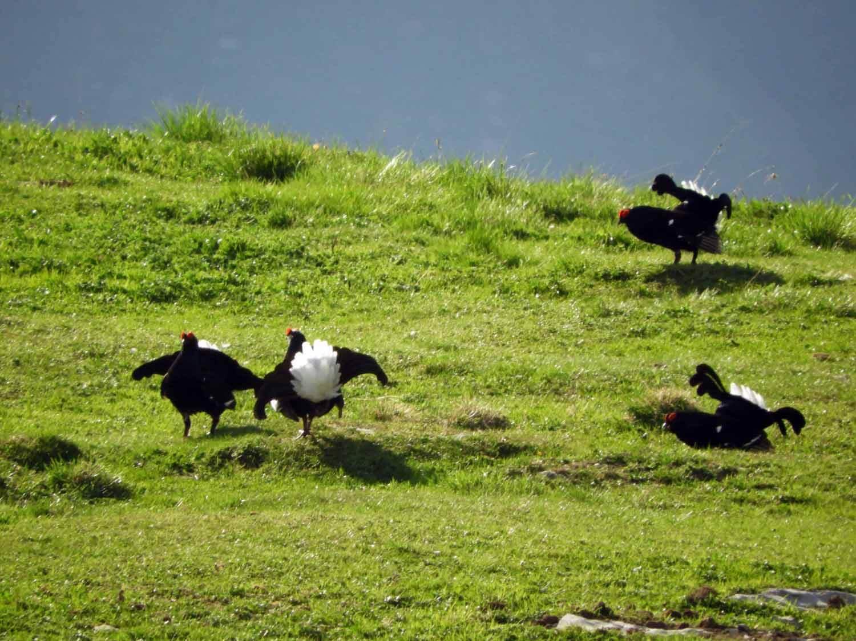 switzerland-ebenalp-seealpsee-birkhuhn-black-grouse.JPG