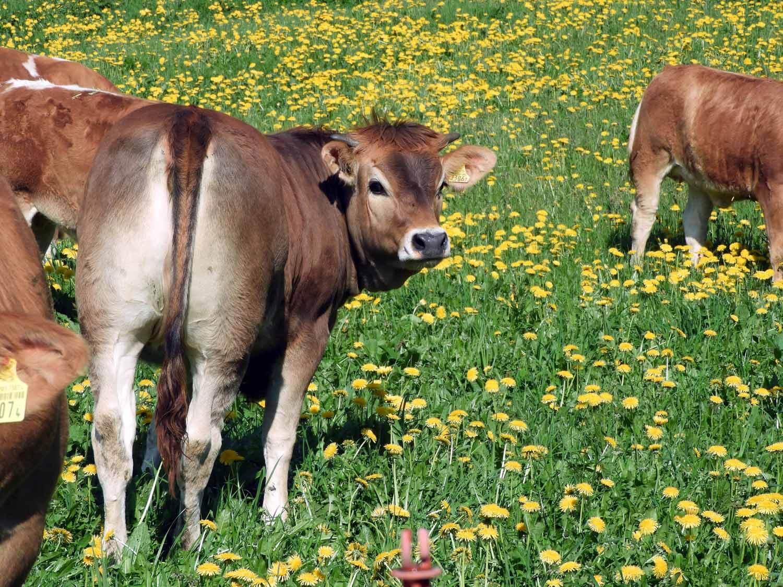 switzerland-oberalppass-vorderrhein-river-valley-cows-swiss-brown.JPG