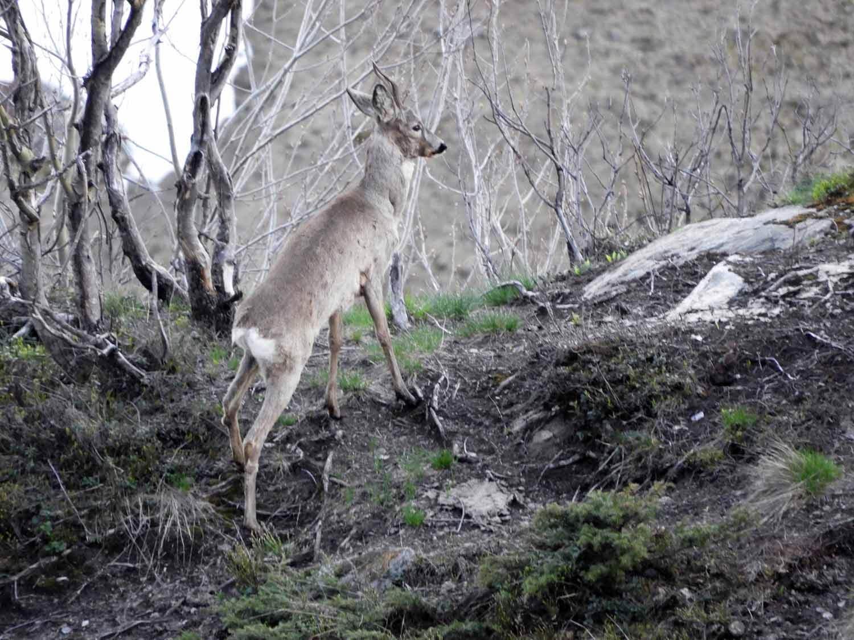 switzerland-oberalppass-vorderrhein-river-valley-rehbock-spiesser-roe-deer-buck.JPG
