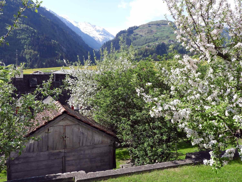 switzerland-oberalppass-vorderrhein-river-valley-spring-fruit-blossoms.JPG
