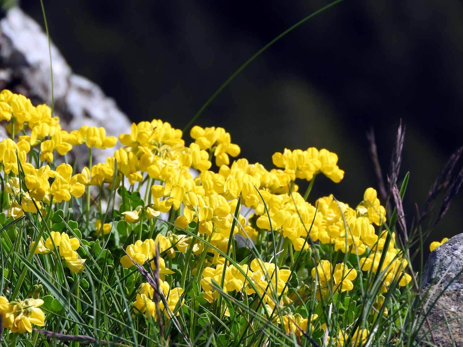 switzerland-cruex-du-van-wild-flowers.JPG