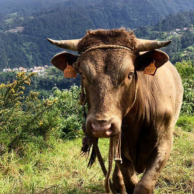 Holy Cow!  We've #herd it's #cowappreciationday and while we don't have a #chickfila around here, we can certainly take a minute to appreciate the cows. Look at this #udderly majestic beauty we saw in #madeira #portugal  #maistralife #maiastra #maiastratravel #cowsofinstagram #holycow #chocolatemilk  Photo credit: @ellsworth_edventures