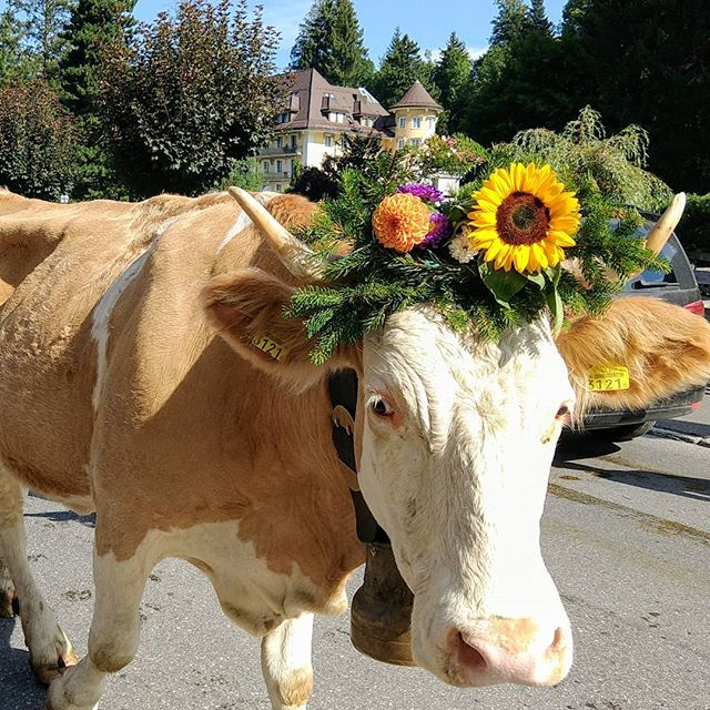 Udderly stunning! Everyone needs to see the #cowscomehome from the alps at least once! Many families march alongside their herd for hours until they reach their homesteads.  #maiastratravel #maistralife #maiastra #gstaadzüglete #cowsofinstagram #kuh