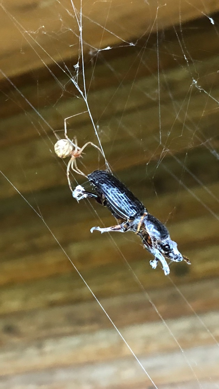 The spider and the beetle are locked in an existential struggle, not unlike the battle between our fears and our dreams. We can let our dreams prevail, just like the spider.  Photo courtesy: The Author