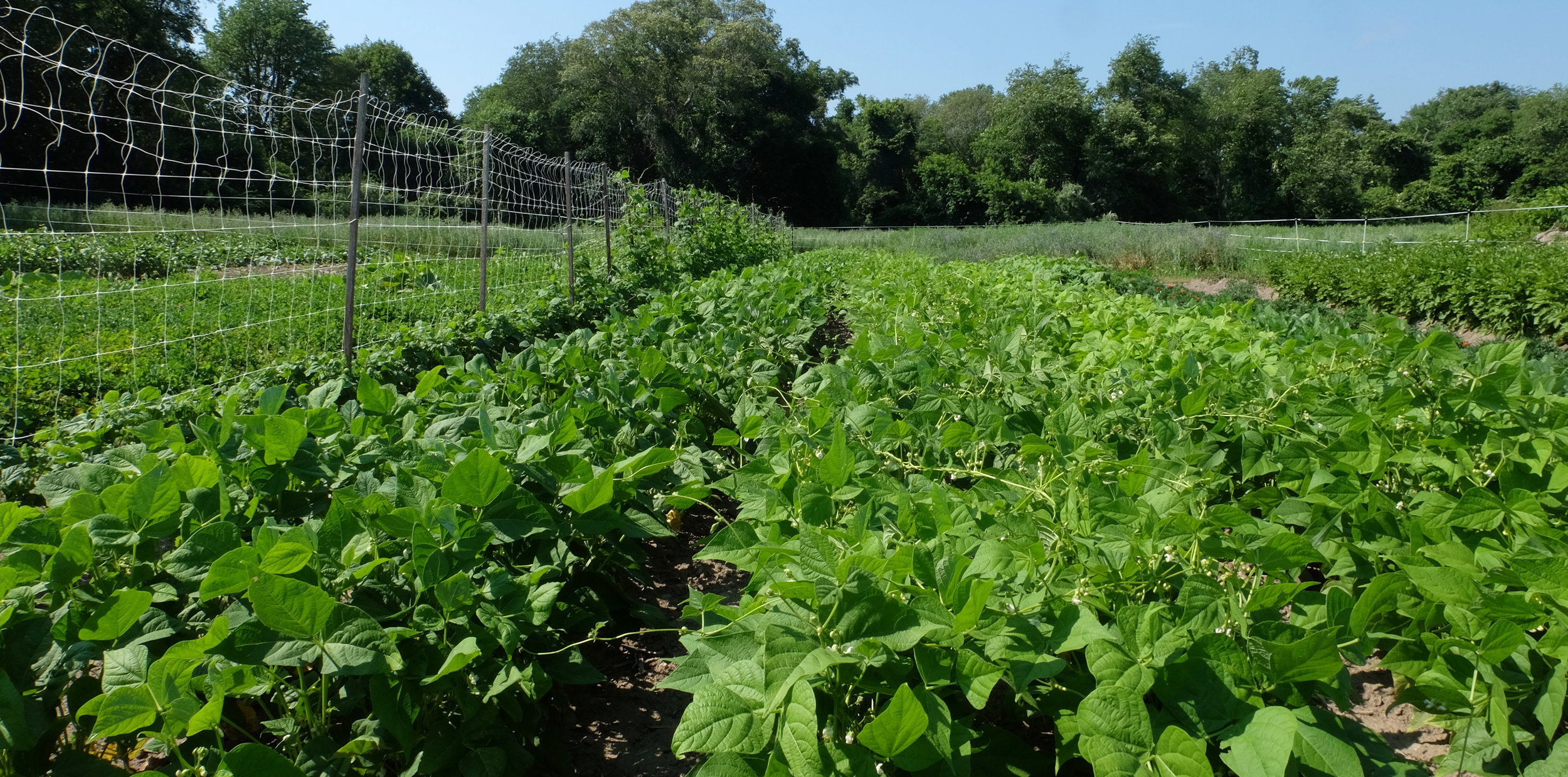 Dry beans and green beans in the field, July 2017.