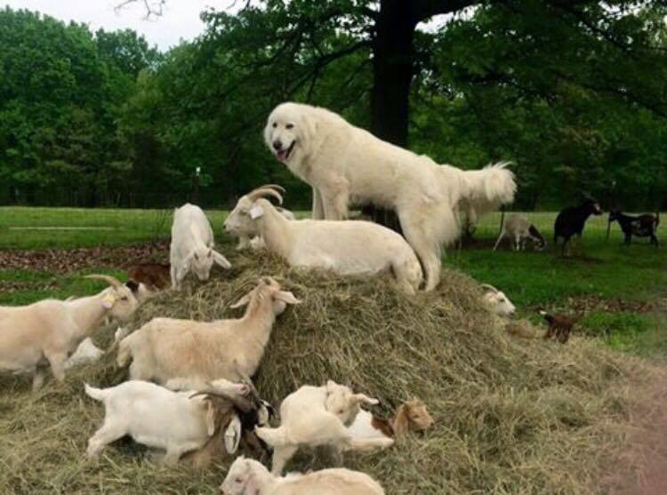 "Painted Canvas Farm's ""Chuck Norris"", in Missouri, playing King of the Mountain with his Kiko Goat herd."
