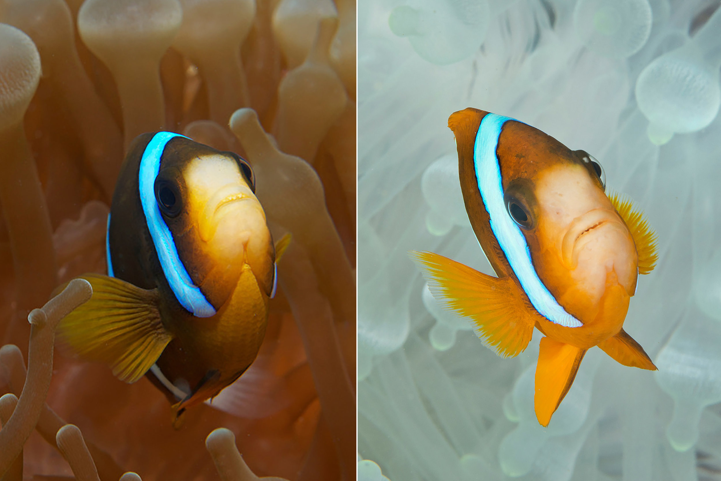 before & after - Anemone with Clownfish credit: JAYNE JENKINS / coral reef image bank