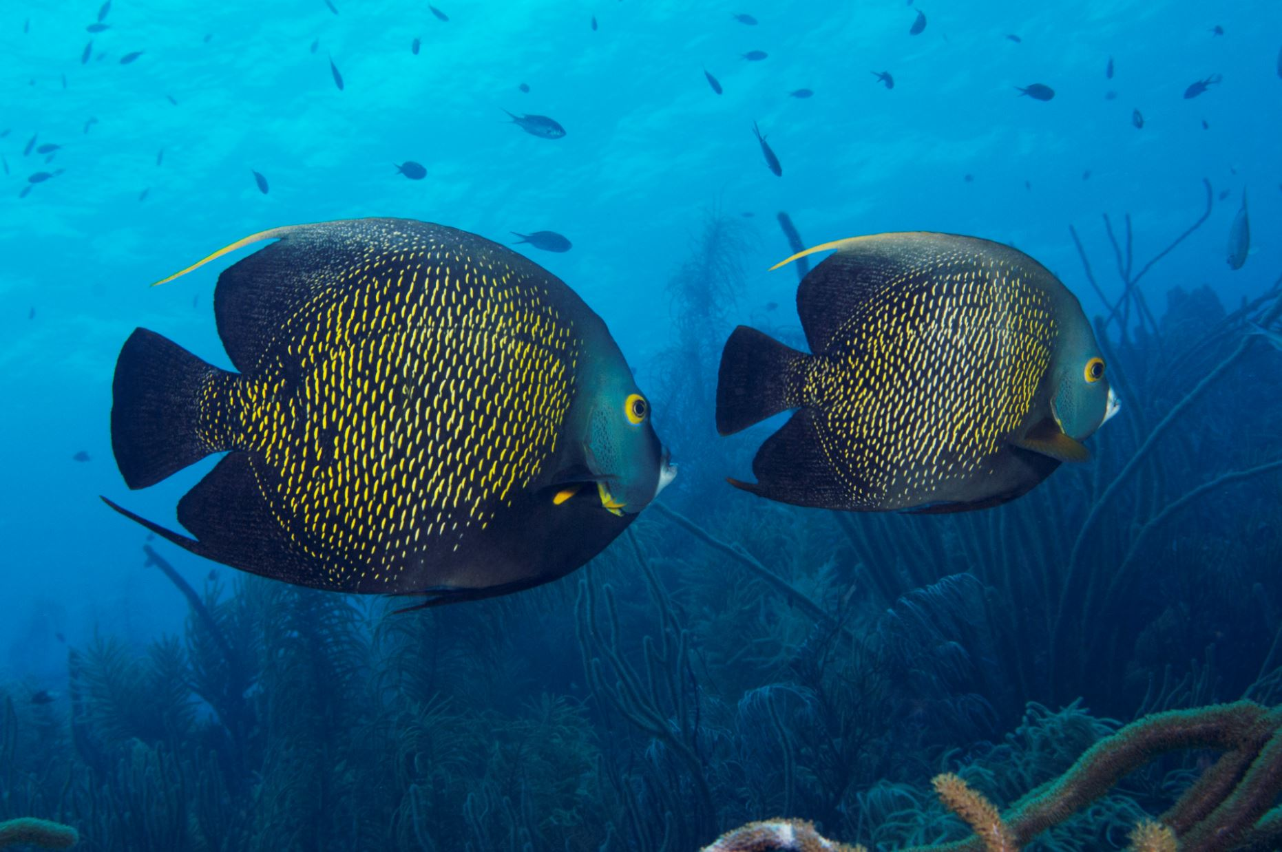 french angelfish CREDIT: THE OCEAN AGENCY / coral reef image bank