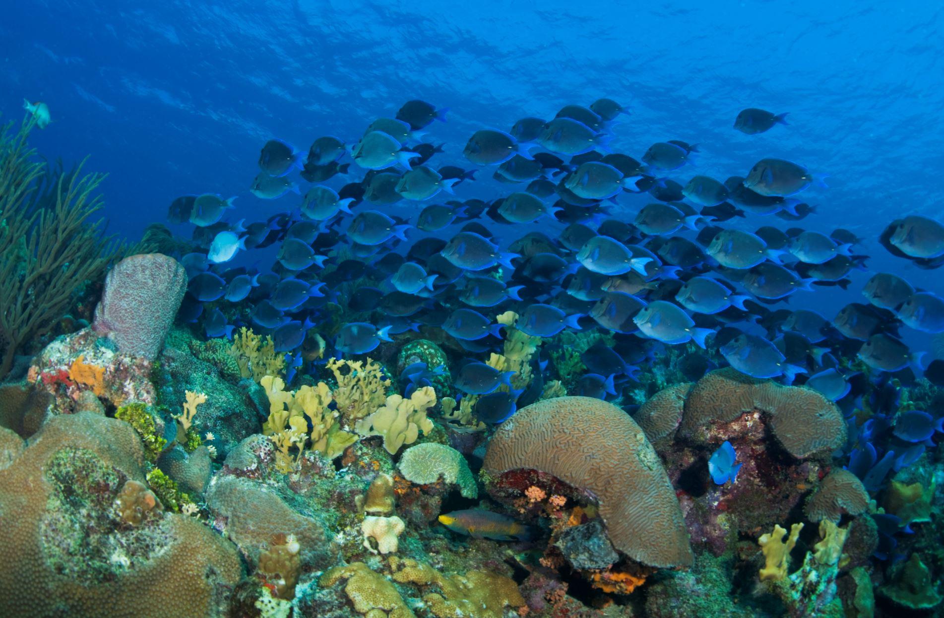 school of blue tangs, caribbean CREDIT: the ocean agency / coral reef image bank