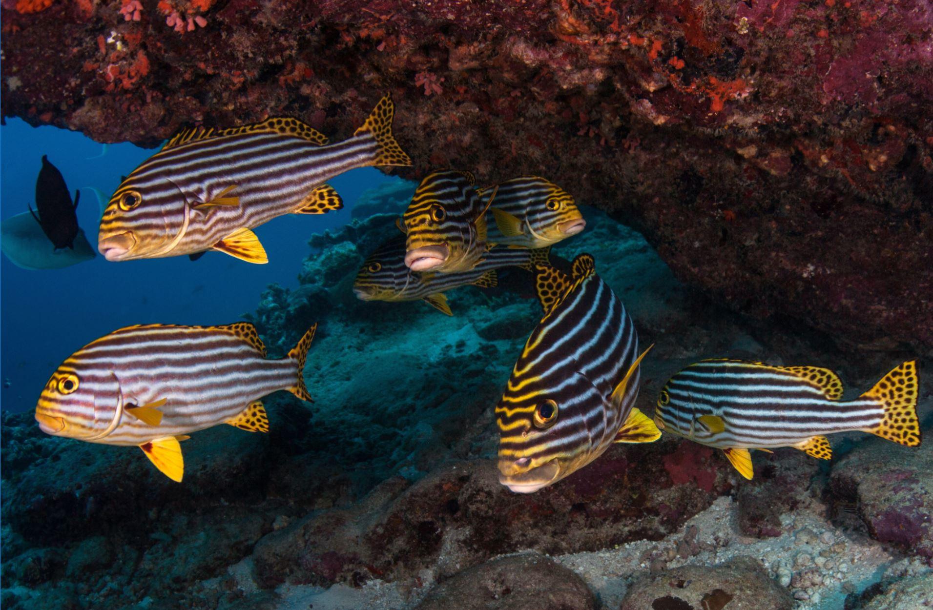 sweetlips CREDIT: THE OCEAN AGENCY / coral reef image bank