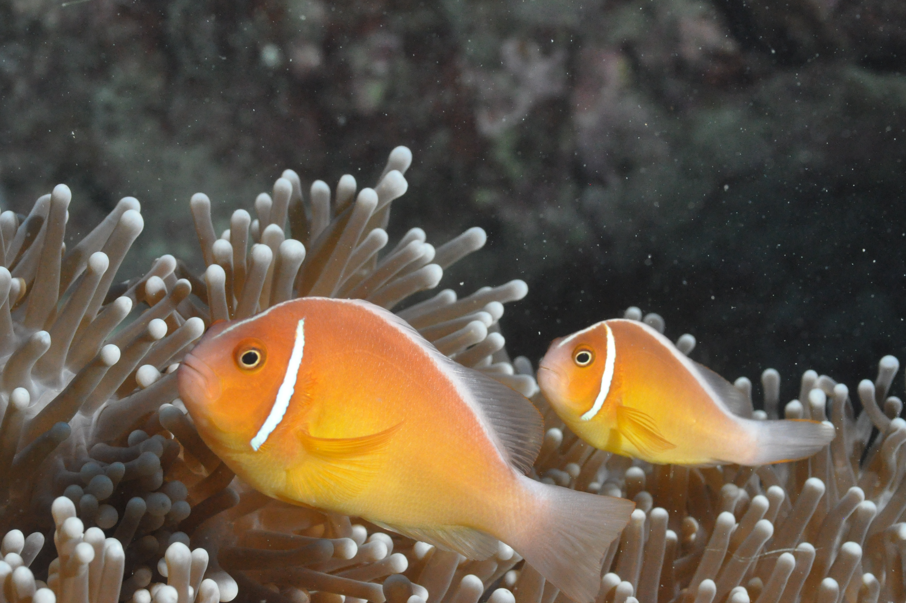clown fish CREDIT: THE OCEAN AGENCY / XL CATLIN SEAVIEW SURVEY